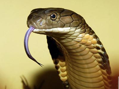 Cách phân biệt rắn độc và không độc